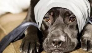 rabia-canina